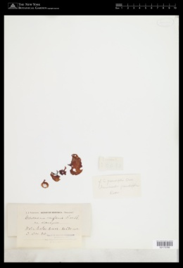 Neurocaulon foliosum image