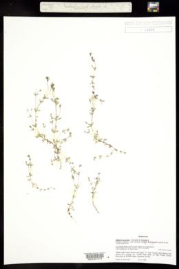 Galium trifidum image