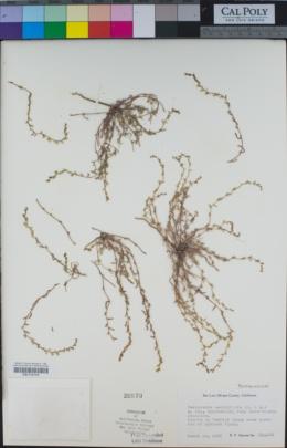 Pectocarya penicillata image