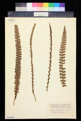 Image of Blechnum fluviatile