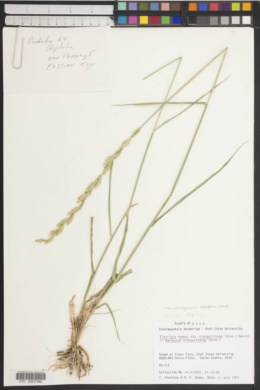 Pseudoroegneria stipifolia image