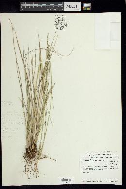 Image of Trisetum viride