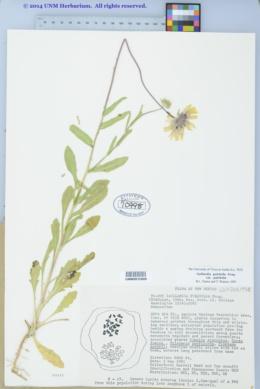 Gaillardia pulchella var. pulchella image