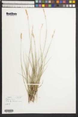 Image of Leymus ramosus