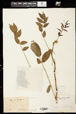 Image of Cassia occidentalis