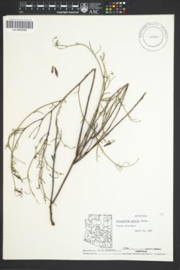 Porophyllum gracile image