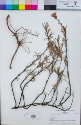 Image of Lampranthus spectabilis