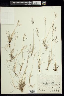 Image of Agrostis subpatens