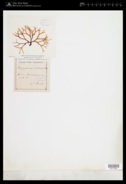 Sebdenia dichotoma image
