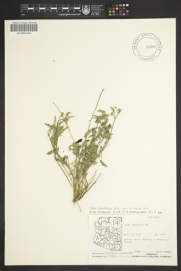 Sida abutifolia image