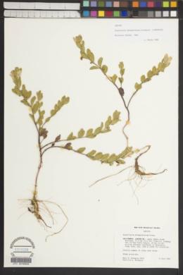 Image of Scutellaria holmgreniorum
