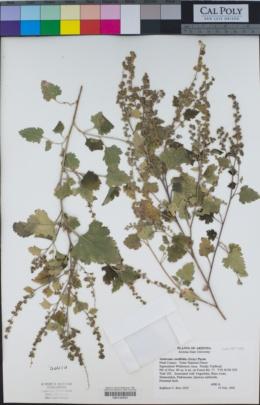 Ambrosia cordifolia image