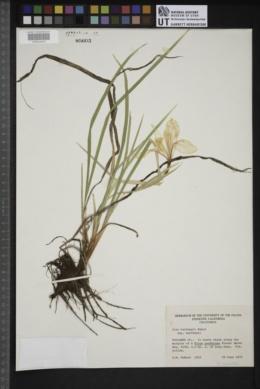 Iris hartwegii image