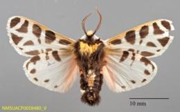 Notarctia proxima image