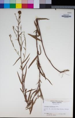 Image of Ludwigia suffruticosa