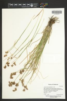 Juncus macrophyllus image