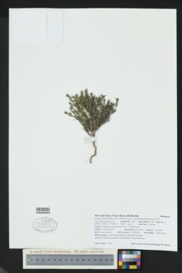 Houstonia acerosa image