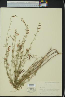 Lotus wrightii image