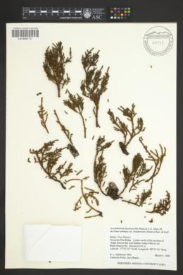 Image of Arceuthobium hawksworthii