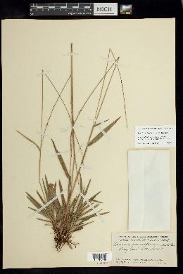 Image of Setaria variifolia