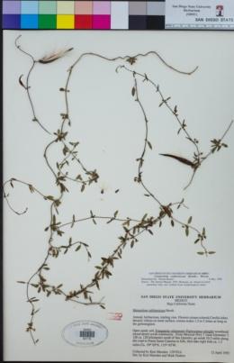 Image of Cynanchum californicum