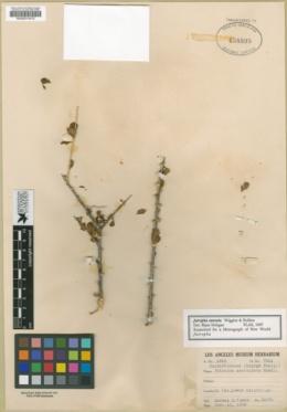 Jatropha cuneata image
