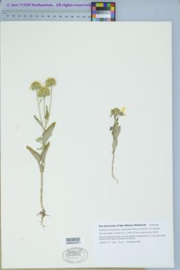 Verbesina encelioides subsp. exauriculata image