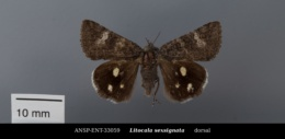 Litocala sexsignata image