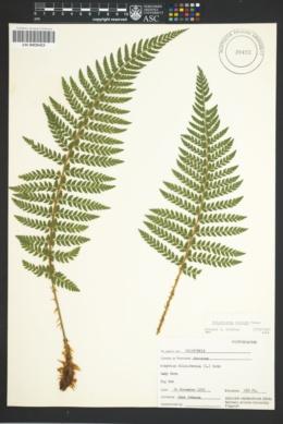 Image of Polystichum dudleyi