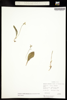 Image of Platanthera obtusata