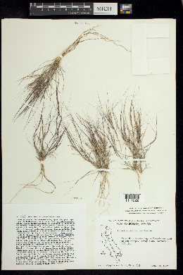 Aristida californica image