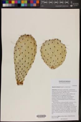Image of Opuntia setispina