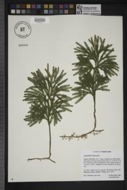 Image of Lycopodium obscurum