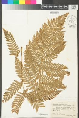 Dryopteris arguta image