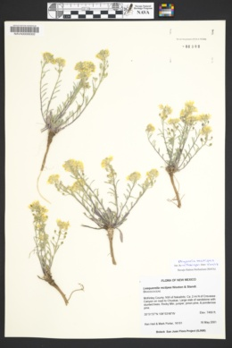 Physaria rectipes image