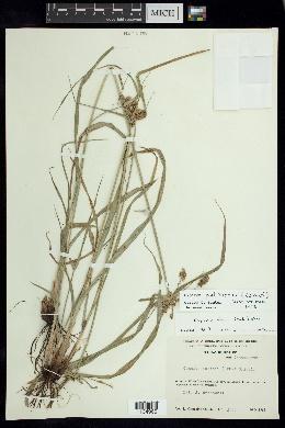 Cyperus pallidicolor image