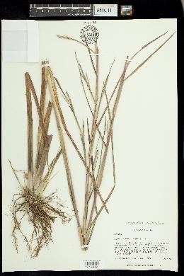 Mnesithea tuberculosa image