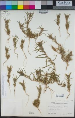 Image of Epilobium cleistogamum