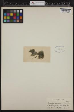 Lyngbya aestuarii f. natans image