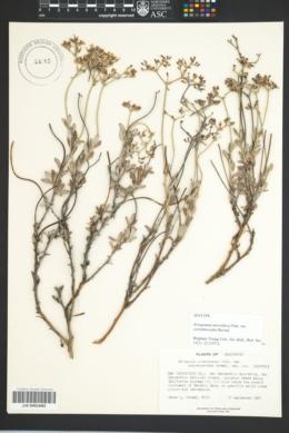 Image of Eriogonum microtheca