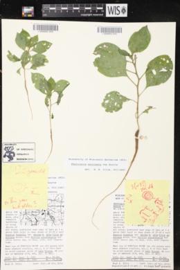 Phytolacca latbenia image