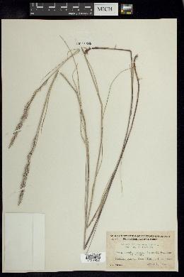Melica frutescens image