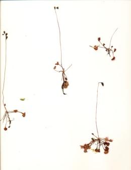 Drosera anglica image