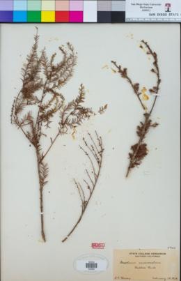 Taxodium mucronatum image