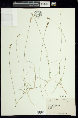 Image of Carex loliacea