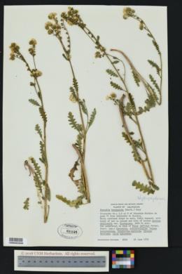 Image of Phacelia brachyloba
