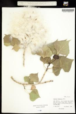 Populus fremontii image