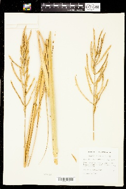 Spartina cynosuroides image