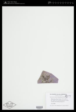 Stylonema alsidii image