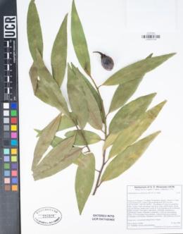 Umbellularia californica image